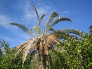 Palm tree destroyed by red palm weevil